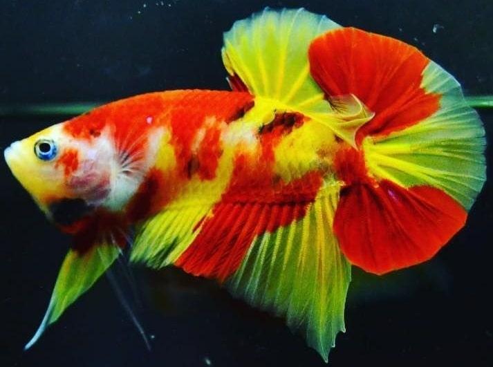 Harga Ikan Cupang Murah Terbaru Terupdate Semua Jenis Chm