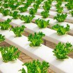 Read more about the article Analisa Bisnis Sayuran Hidroponik Mulai dari Persiapan hingga Pemasaran